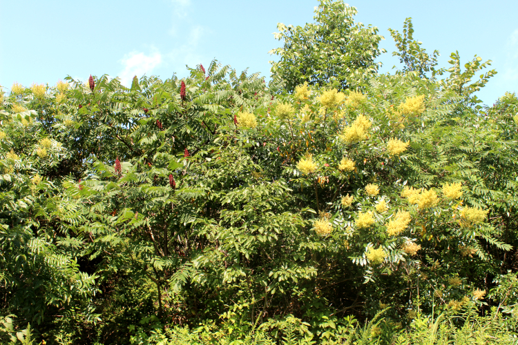 Smooth and Winged Sumac