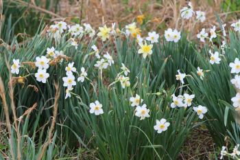Heritage Daffodil bulbs